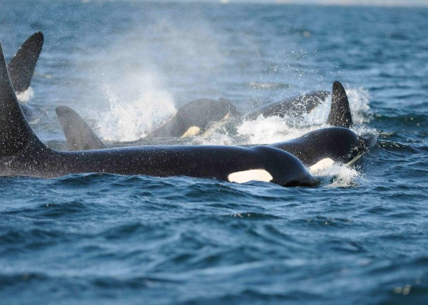 Killer-Whales-off-San-Juan-Island-by-Carl-Safina-600x428