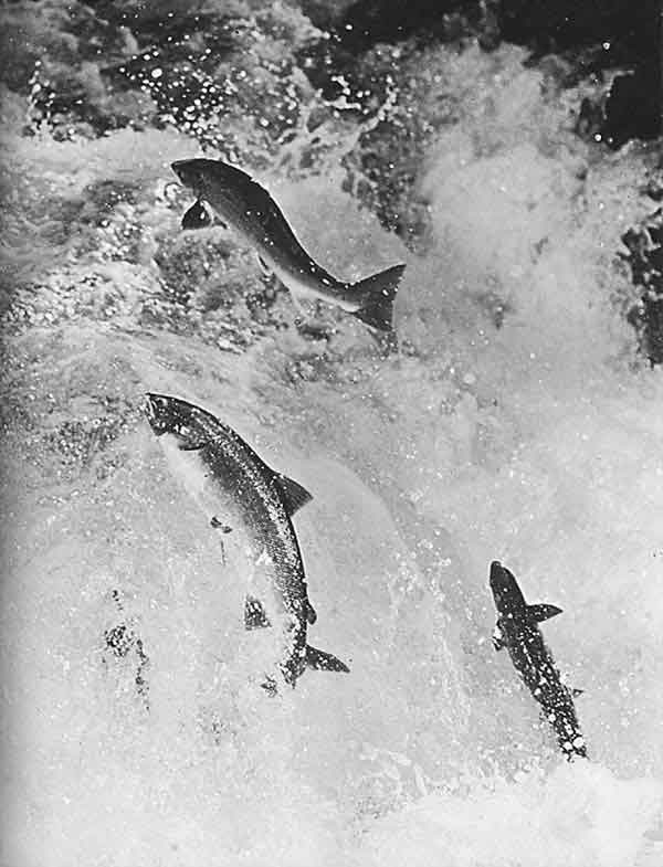 """The image """"http://www.wildsalmon.org/images/library/leaping.salmon.jpg"""" cannot be displayed, because it contains errors."""