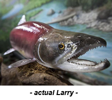 actual.larry.sockeye1