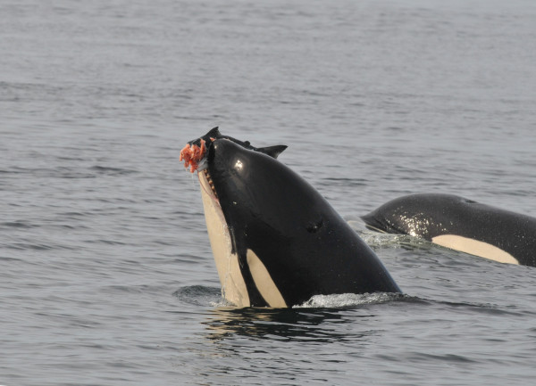 Orca or Killer Whale with salmon by Ken Balcomb 600x433