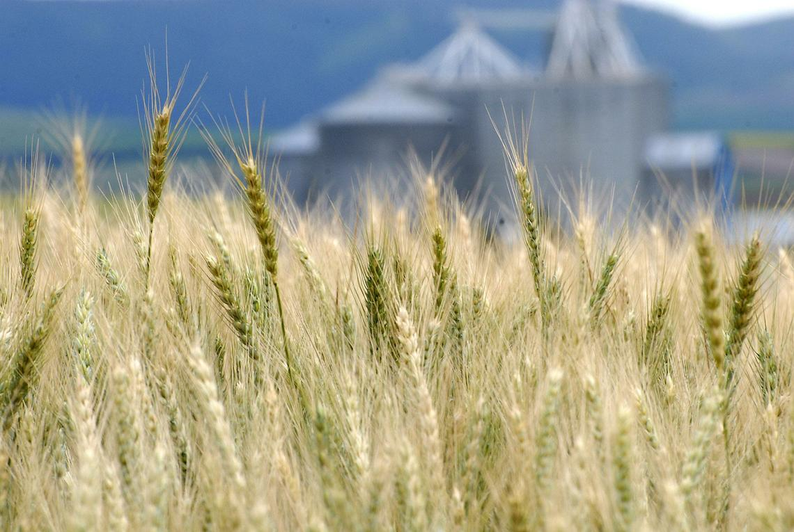 Ripening Wheat.JPG t1140