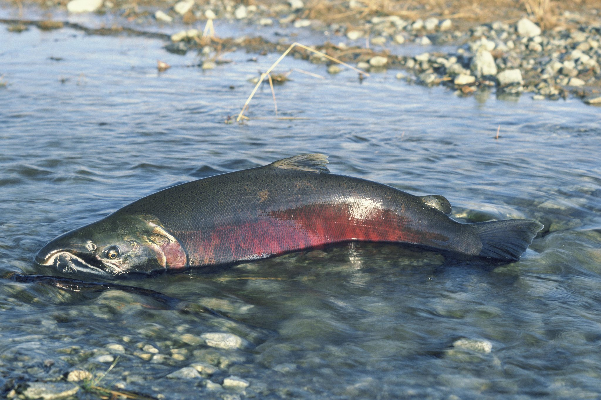 Salmon.Chinook.Dying.Spawning