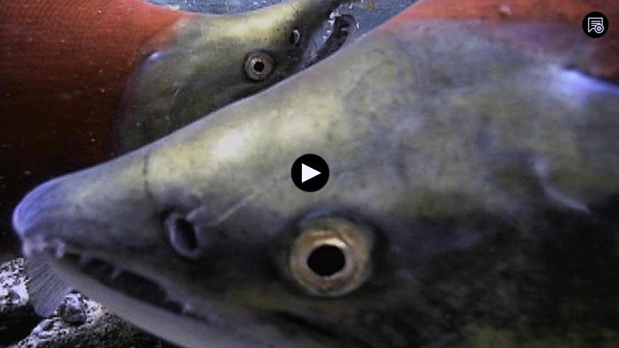 2011 Salmon: Running the Gauntlet (PBS Documentary) 50 min.