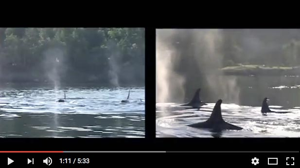 2012 Shared fate: Puget Sound Orcas and Columbia Snake Salmon 5 min